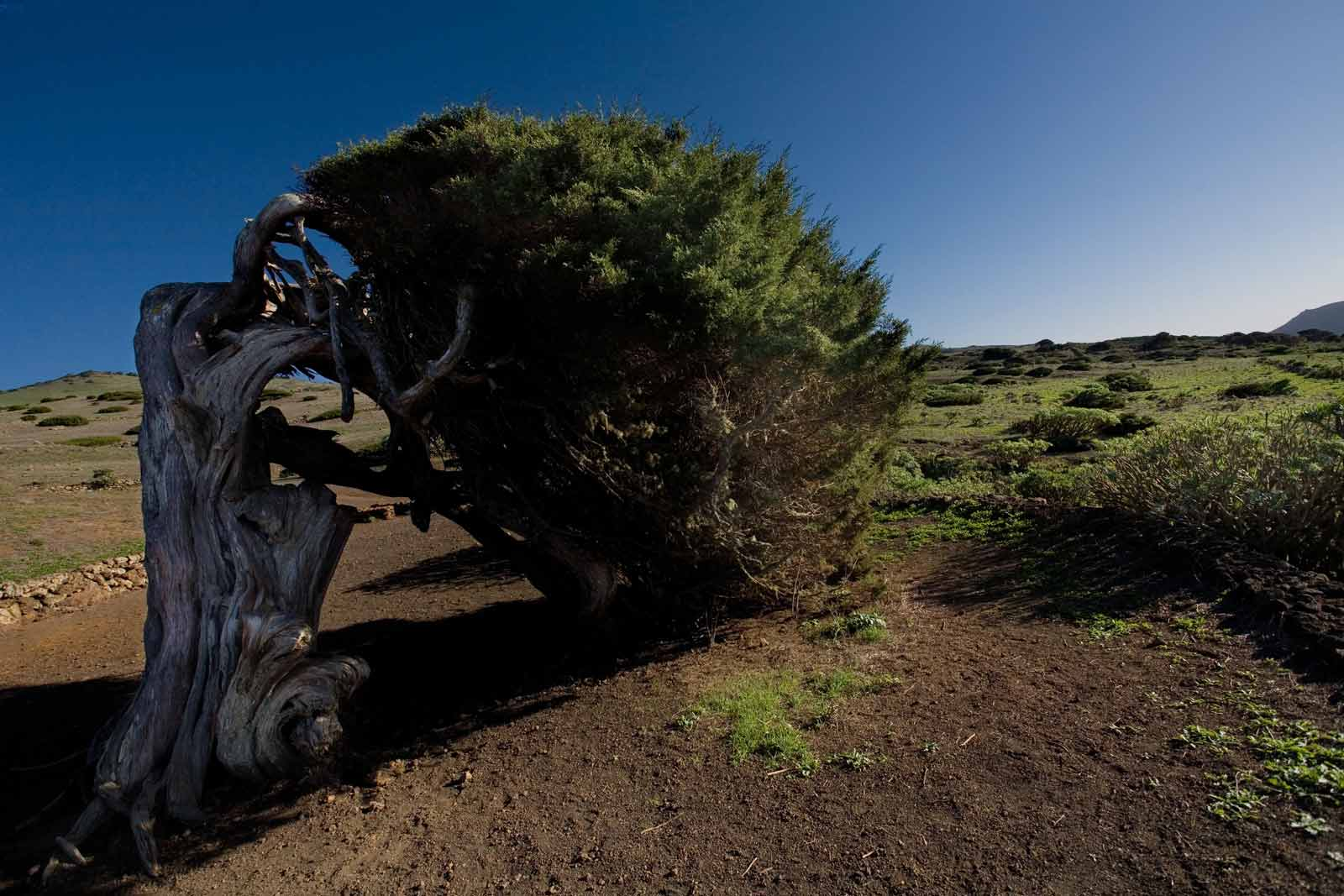 age-old juniper tree (El Hierro)